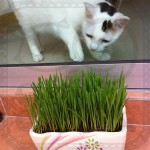 Organic Cat Grass Seeds